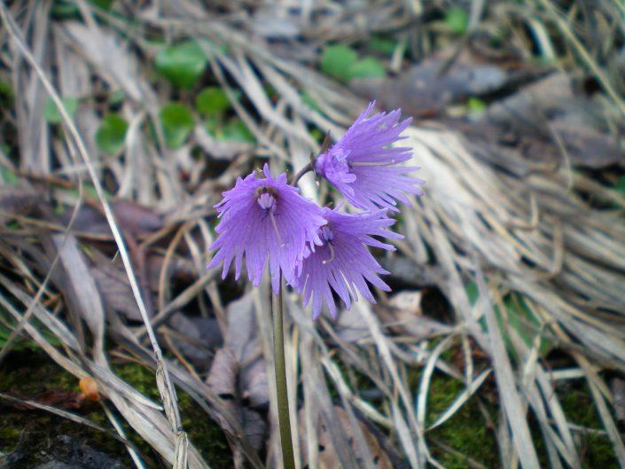 fleur soldanelle